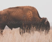 Oklahoma Photography-Grazing Bison- Travel Photography- Home and Office Decor