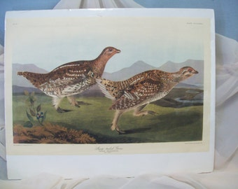 Audubon Print, Sharp-tailed Grous, No. 77