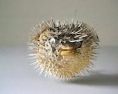 natural vintage blowfish specimen