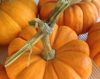 Jack Be Little Miniature Pumpkin Seeds Heirloom Organic