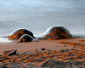 Hawaii green sea turtle sunset beach sand Maui shore nature photography