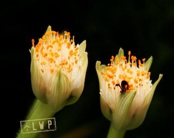 Apis Mellifera, Honey Bees Collecting Pollen, Macro Detail, 6x9 Fine Art Photography, Home Decor