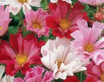 50 HEIRLOOM Cosmos Sea Shells Seeds