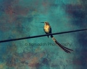 Bird on a Wire, animal photography, bird photo, abstract bird, long tail feathers, South African Sugarbird, nomadah photography