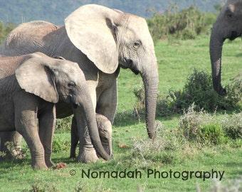 Animal photography, baby elephant, african animals, elephant photograph, wildlife photography, nomadah photography, 8 x 10, nursery room art