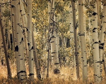 Aspen trees in fall colors sepia fine art photograph print 20x30