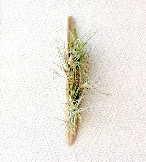 Air Plants on Driftwood: Vertical Garden or Table Top Piece