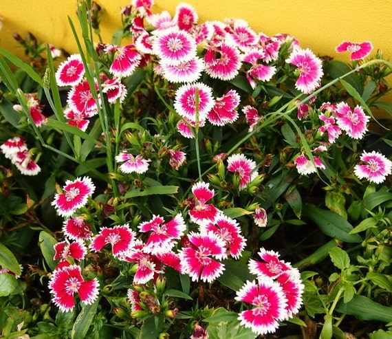 Heirloom 1000 Seeds Dianthus chinensis Carnation Heirloom Sweet William Mixed Bulk S048