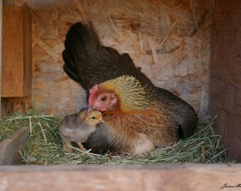 Mother Hen Farm Photograph Old English Bantam Chicken With Chick Nesting Barn Yard Art