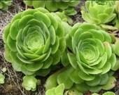 2 LARGE Aeonium Succulent Cutting
