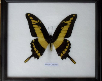 Real Single Papilio THOAS CINYRAS Butterfly Taxidermy in Frame