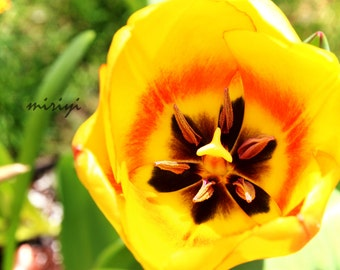 Orange and Yellow Tulip Print 8x10 Artistryi Photography