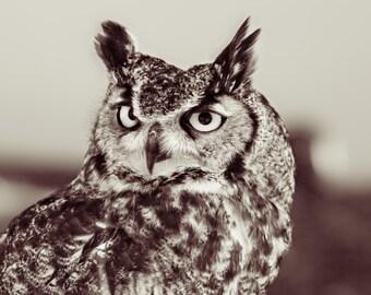 Great Horned Owl. Horned Owl. Birds of Prey. Owls. Raptors. Liz and Rich Photography. Bird of Prey Photography by Liz Bergman