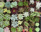 Collection of 60 small succulents for party favors