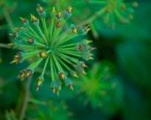 Green Plant Nature Photograph - flower macro photography - 4x6 Fine Art Photo Print - MikaPrints
