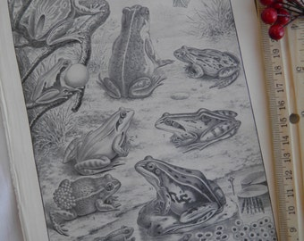 Frogs - German Text Lithograph