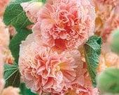 Heirloom Hollyhock Peaches n Dreams Flower Seeds, Non GMO, Organically Grown