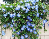 Blues Brothers Morning Glory, White and Blue Flowers, Garden, 10 Seeds