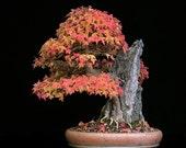 Bonsai Trident Maple, Seeds, Grow Your Own, Japaense, 5 Seeds
