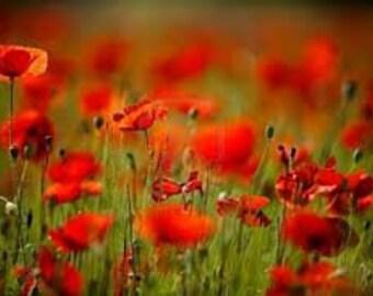 Red Corn Poppy, 100 Flower Seeds, Reseeds Itself