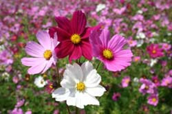 Cosmos Sensation Mix, Tons of Blooms All Summer, 25 Seeds