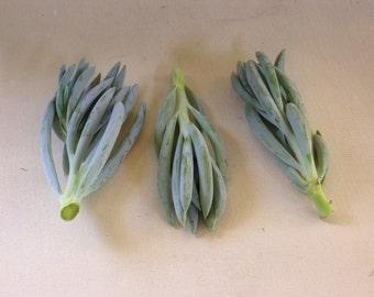 12 Blue Chalk Stick Succulent Cuttings