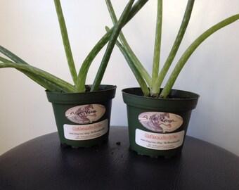 Aloe Vera Live Plant - Small