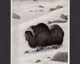 Muskox Print 1916 Bookplate Print by Louis Agassiz Fuertes Vintage Mounted with Mat Wildlife Musk Ox Picture