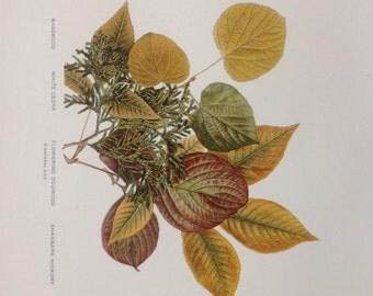Original Antique Chromolithograph Leaf Print from 1907