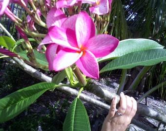 "Plumeria ""Flamingo Frangapani"" 8-INCH Tree Cutting ""Soft Pink petals with yellow center"""