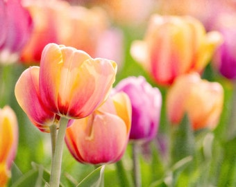Bright Tulips 5x7 Fine Art Photography Spring Colors Orange Pink Green Wall Decor