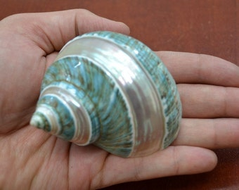 "Polished GREEN JADE Banded Turbo Hermit CRAB Sea Shell 3"" - 3 1/2"" 7069"