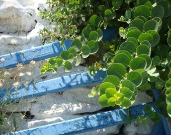 Caper seeds,caper from Paros island, heiloom seeds,gardening,non gmo organic ,delicatesen caper seeds,40