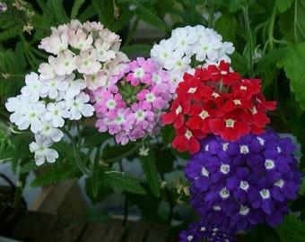 Vervain seeds,55, vervain flower, gardening, flower seeds, spring flower, multicolor flower, flower from seeds, plant your own flower