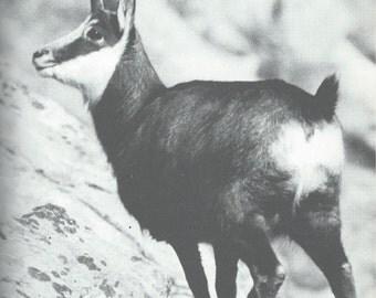 2 Vintage mouflon poster