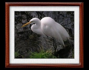 Great Egret Print - 8x10 Great Egret Photograph - Bird Photograph - Bird Print (P19)