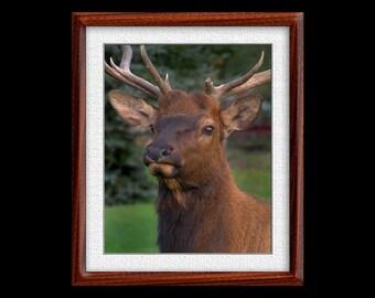 Elk Print - 8x10 Elk Photograph - Wildlife Photograph - Wildlife Print (P31)