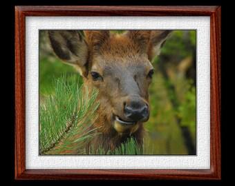 Elk Print - 8x10 or 11x14 Elk Photograph - Wildlife Photograph - Elk Art (P8)