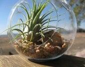 Hanging round air plant terrarium