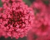 Valerian flowers 8 x 12 fine art photography print