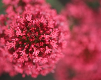 Valerian flowers 8 x 12 fine art photography print