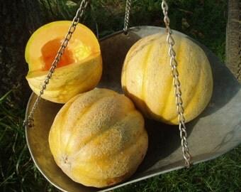 Melon Plant, Delicious 51 PMR Organic