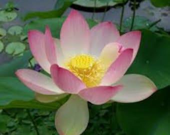 Sacred Lotus Elixir