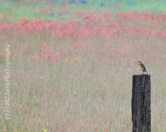 Meadowlark Dream 8x10 Photograph with 11x14 mat wild flowers bird spring texas roadside nature fields meadow country farm rustic