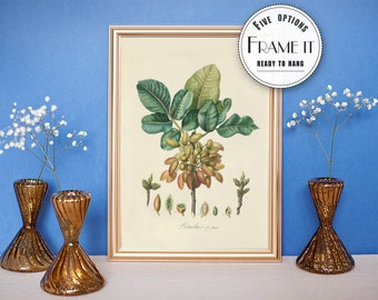 "Kitchen Decor - Vintage illustration of Pistachios - framed fine art print, botanical art, 8""x10"" ; 11""x14"", FREE SHIPPING - 87"