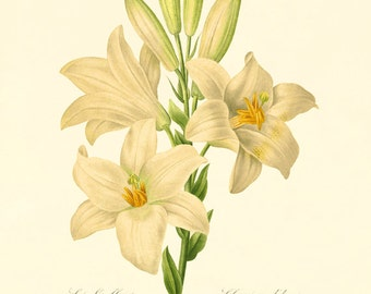 White Lily vintage flower art print Cottage wall art Victorian print French wall art botanical antique wall art Flower wall art Garden print