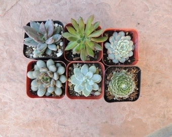 Collection of 6 small succulents for party favors