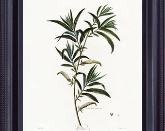 Antique BOTANICAL 8x10 Vintage Giclee Print Art Painting Robert THORNTON Willow Tree Green Wall Hanging to Frame BF0015