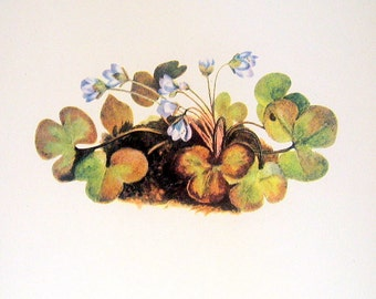Flower Print - Hepatica, Blue Jasmine - 2 Sided - 1950's Vintage Botanical Illustration Book Page