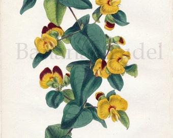 1847 Rare Antique Hand-coloured Botanical Print by Joseph Paxton. Platylobium Formosum